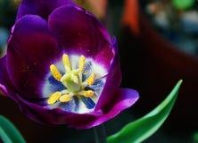 Tulipani nobili - principe porpora Immagine Stock Libera da Diritti