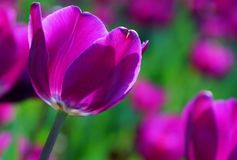 Tulipani nobili, principe porpora Fotografie Stock Libere da Diritti