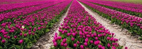 Tulipani in Olanda Fotografia Stock Libera da Diritti