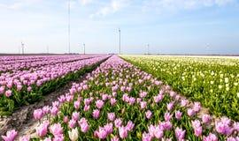 Tulipani in Olanda Fotografie Stock Libere da Diritti