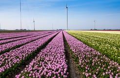 Tulipani in Olanda Immagine Stock Libera da Diritti