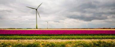 Tulipani in Olanda Immagini Stock