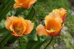 Tulipani olandesi arancioni fotografia stock immagine di for Tulipani arancioni