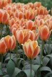 Tulipani olandesi arancioni Immagine Stock