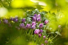 Tulipani olandesi viola Immagine Stock