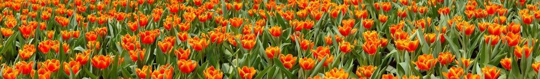 Tulipani panoramici fotografia stock