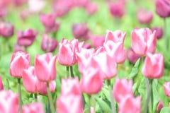 Tulipani in parco di Amsterdam Fotografia Stock
