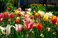 Tulipani pastelli Fotografie Stock