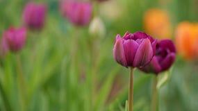tulipani a più strati porpora nel colpo di macro del giardino Fotografia Stock Libera da Diritti