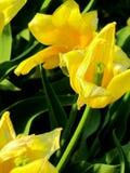 Tulipani pieni di sole Immagine Stock