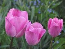 3 tulipani porpora Fotografia Stock