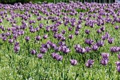 Tulipani porpora Fotografia Stock