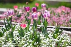 Tulipani Tulipani porpora di colori unici su luce solare Fondo della carta da parati del tulipano Il tulipano fiorisce la struttu Immagine Stock