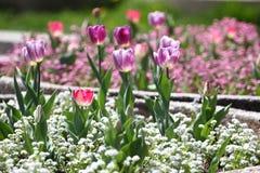 Tulipani Tulipani porpora di colori unici su luce solare Fondo della carta da parati del tulipano Il tulipano fiorisce la struttu Immagini Stock