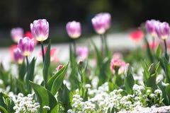 Tulipani Tulipani porpora di colori unici su luce solare Fondo della carta da parati del tulipano Il tulipano fiorisce la struttu Fotografia Stock