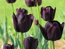 Tulipani porpora scuri alla luce solare luminosa fotografia stock libera da diritti
