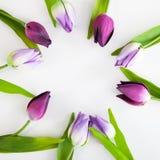 Tulipani porpora sistemati in anello su fondo bianco Fotografia Stock