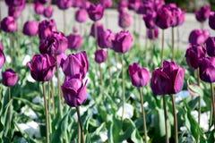 Tulipani porpora sul prato fotografia stock libera da diritti