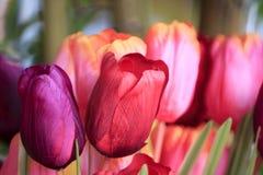 Tulipani in primavera Fotografia Stock Libera da Diritti