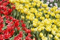 tulipani in primavera nell'ambito di luce solare fotografia stock libera da diritti
