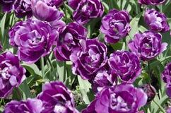 tulipani in primavera nell'ambito di luce solare immagine stock libera da diritti