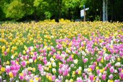 Tulipani in primavera, tulipani variopinti Immagini Stock