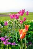 Tulipani in primavera, tulipani variopinti Fotografia Stock