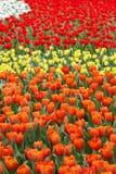 Tulipani in quattro colori Fotografia Stock Libera da Diritti