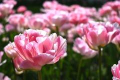 Tulipani ricci Fotografia Stock