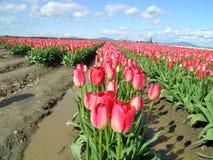 Tulipani, rosa Fotografia Stock Libera da Diritti