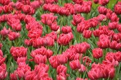 Tulipani rosa Immagini Stock Libere da Diritti