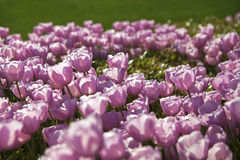 Tulipani rosa Immagini Stock