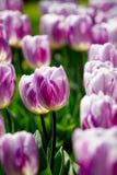 Tulipani rosa Fotografia Stock