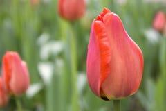 Tulipani rosa Fotografia Stock Libera da Diritti