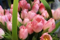 Tulipani rosa-chiaro con le foglie verdi Immagine Stock