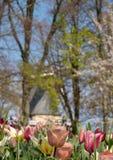 Tulipani rosa colorati ai giardini di Keukenhof, Lisse, Paesi Bassi Mulino a vento nel fuoco molle nei precedenti fotografie stock libere da diritti