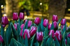 Tulipani rosa come segni delle primavere Fotografia Stock Libera da Diritti