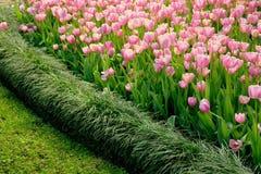 Tulipani rosa con il pensionante dell'erba Fotografia Stock