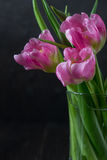 Tulipani rosa del fiore su fondo scuro fotografia stock