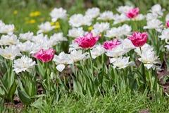 Tulipani rosa e bianchi Fotografia Stock Libera da Diritti