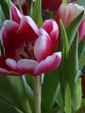 Tulipani - rosa e bianco Immagini Stock Libere da Diritti