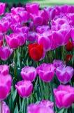 Tulipani rosa e rossi in giardino sul fondo del bokeh All'aperto, molla Immagini Stock