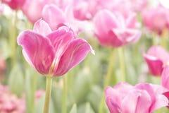Tulipani rosa freschi Fotografia Stock Libera da Diritti