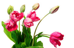 Tulipani rosa freschi su fondo bianco Fotografie Stock