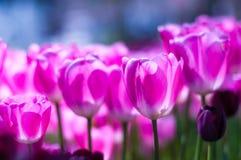 Tulipani rosa in giardino sul fondo del bokeh All'aperto, molla Immagine Stock Libera da Diritti