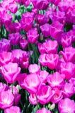 Tulipani rosa in giardino sul fondo del bokeh All'aperto, molla Fotografia Stock
