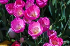 Tulipani rosa in giardino sul fondo del bokeh All'aperto, molla Fotografie Stock