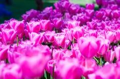 Tulipani rosa in giardino sul fondo del bokeh All'aperto, molla Fotografia Stock Libera da Diritti