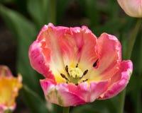 Tulipani rosa a Holland Tulip Festival immagini stock