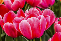 Tulipani rosa Keukenhoff Lisse Holland Netherlands fotografia stock